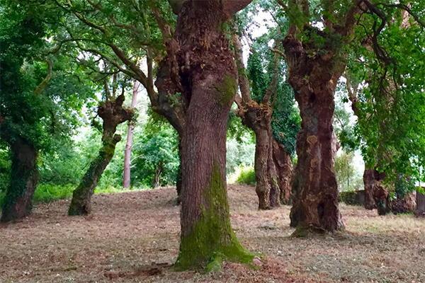 Carballeira do Convento de Herbón (oak grove)